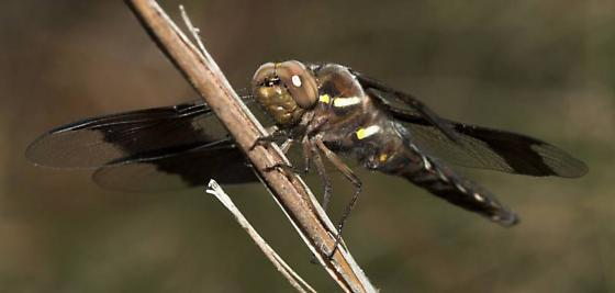 Dragonfly - Plathemis lydia - male