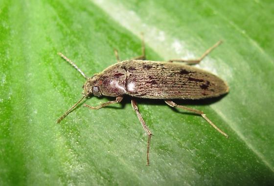 I'm not sure if it's a darkling or false darkling beetle.... - Synchroa punctata