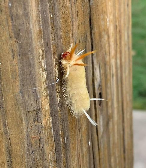 Sycamore Tussock Moth Caterpillar? - Halysidota harrisii