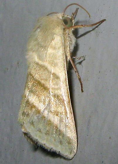 Moth - Chloridea virescens