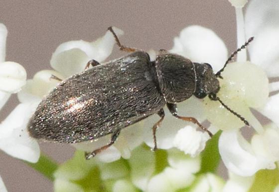 Dasytinae  - Trichochrous fieldii
