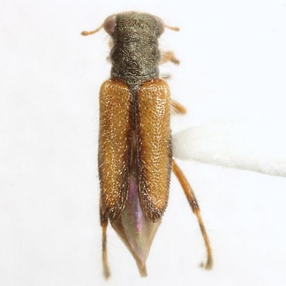 Phyllobaenus pallipennis (Say) - Phyllobaenus pallipennis