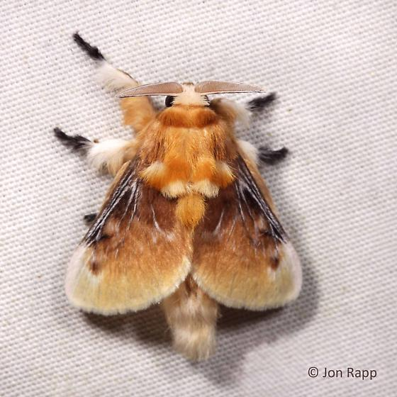 Southern Flannel  or Puss Moth - Megalopyge opercularis - male