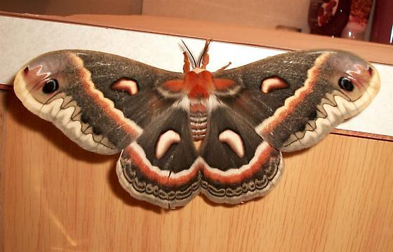 Cecropia Moth. - Hyalophora cecropia - female