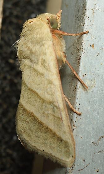 Tobacco Budworm Moth? - Chloridea virescens
