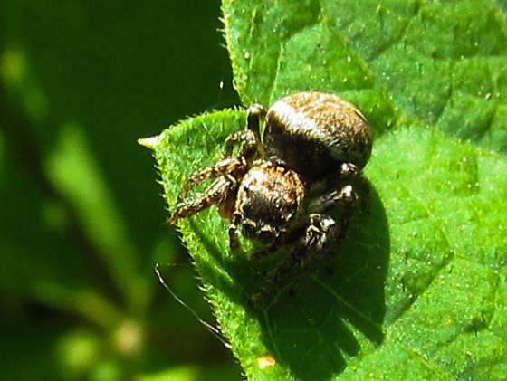 Jumping Spider - Evarcha
