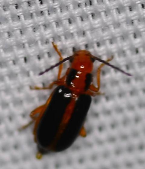 orange and black beetle - Phyllecthris gentilis