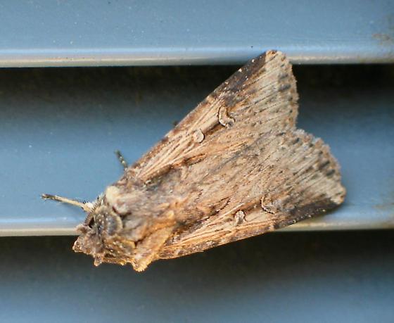 Owlet Moth - Feltia subterranea