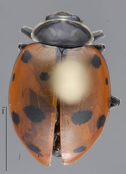 Coccinelidae - Hippodamia