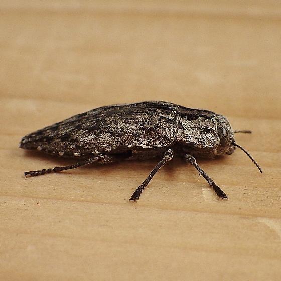 Buprestidae: Dicerca? - Dicerca asperata