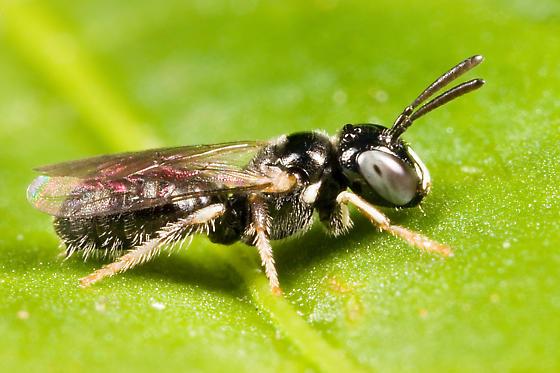 small bee - Ceratina cockerelli - male