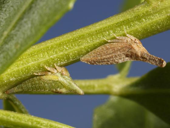 treehopper - Philya