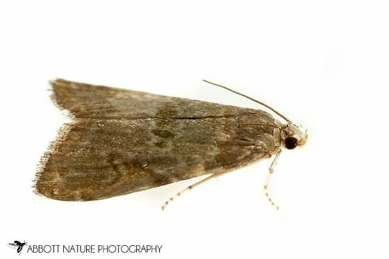 moth - Elophila gyralis