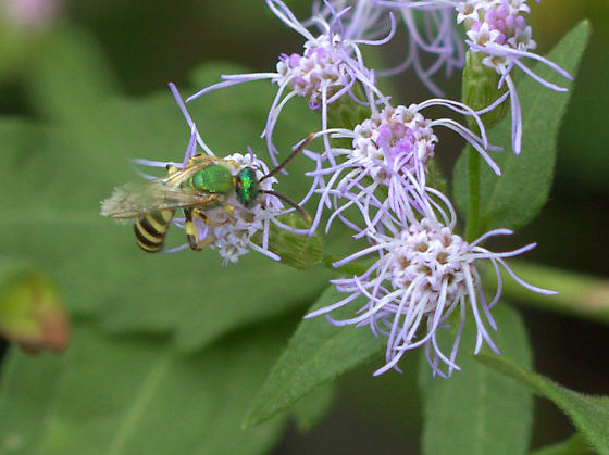 hovering bee? - Agapostemon