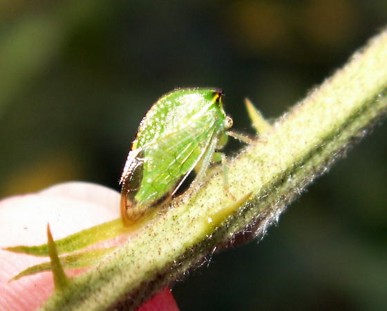 Buffalo Treehopper - Stictocephala