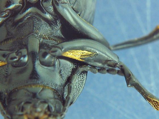 Black tenebs - Centronopus calcaratus - male