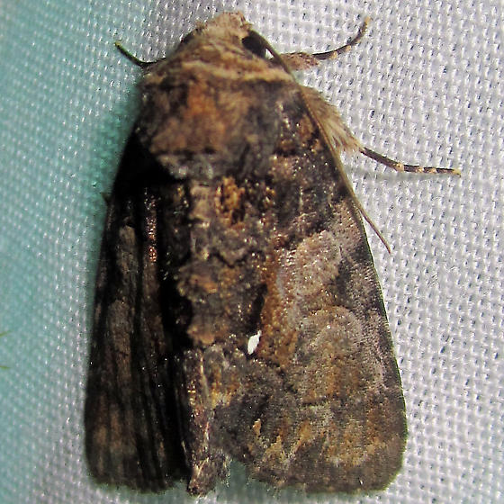 Cloaked Marvel - Hodges#9556 - Chytonix palliatricula