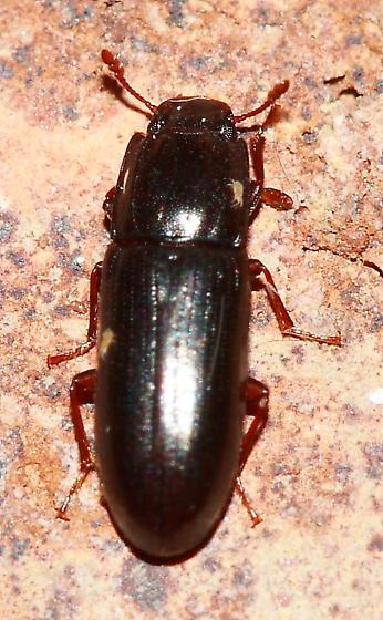 Bark Beetle - Aulonium parallelopipedum