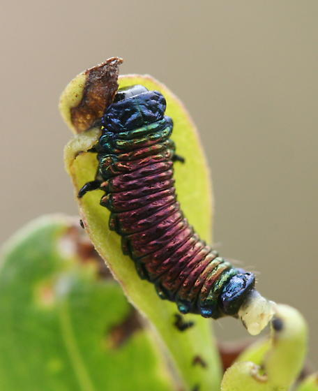 Groundselbush beetle