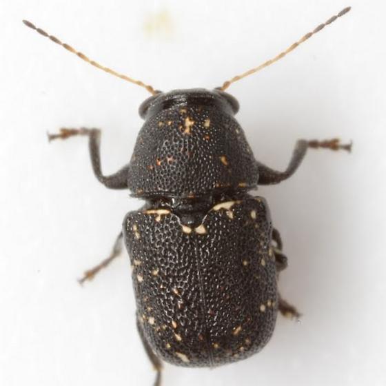 Pachybrachis vestigialis Fall - Pachybrachis stygicus