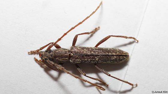 Anelaphus sp. - Anelaphus villosus