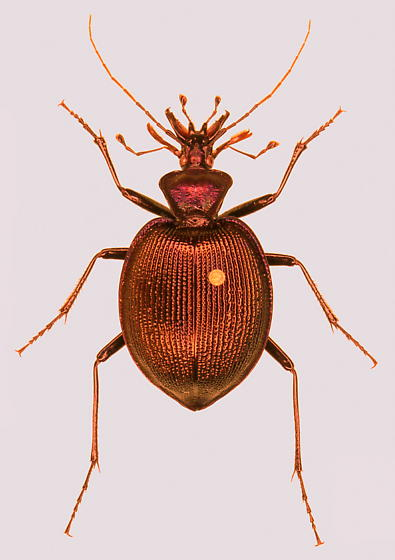 Scaphinotus viduus - female