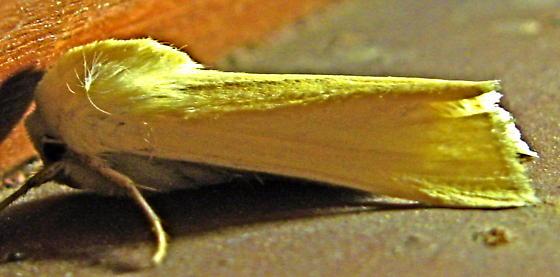 yellow moth - Copablepharon