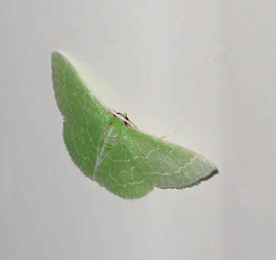 Small emerald moth - Synchlora aerata