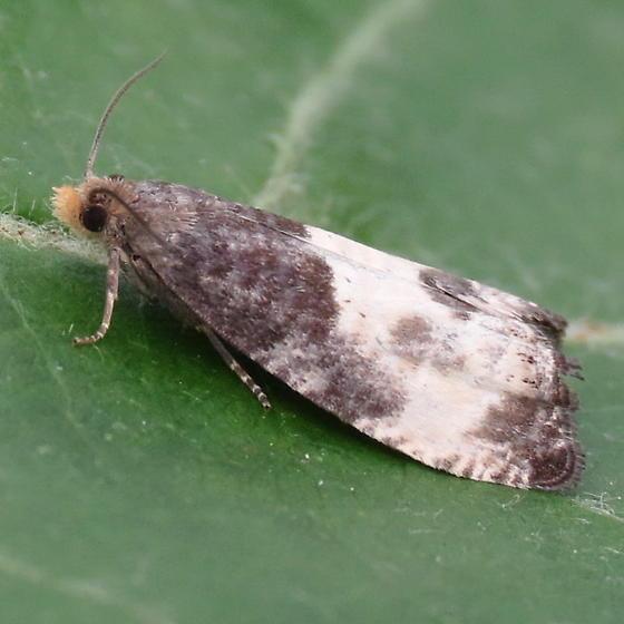 A Tortricid Moth - Notocelia