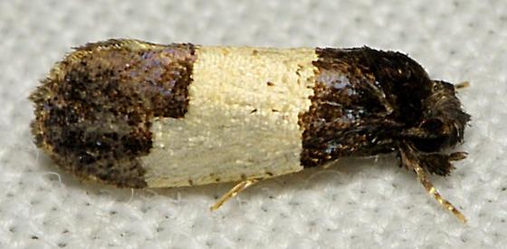 Black and white puzzle moth - Kearfottia albifasciella