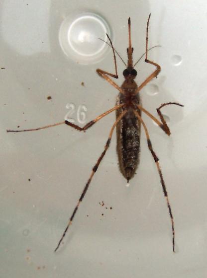 Gallinipper - Psorophora ciliata - female