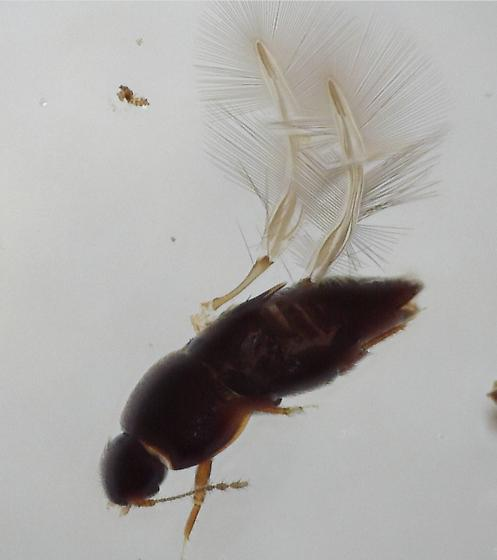 thrip-winged beetle