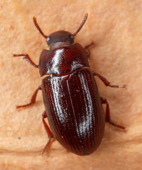 small tenebrionid - Alphitobius diaperinus