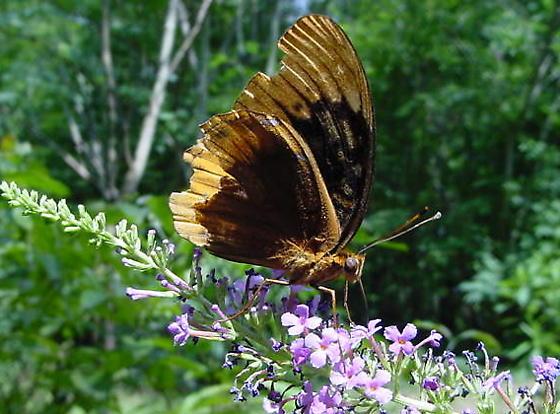 Speyeria diana - male