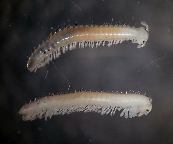Trichopetalum uncum female and male - Trichopetalum uncum - male - female