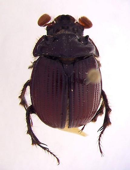 E. lazarus - Eucanthus lazarus - male
