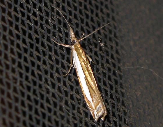 Weird skinny moth... Crambus? - Crambus cypridalis