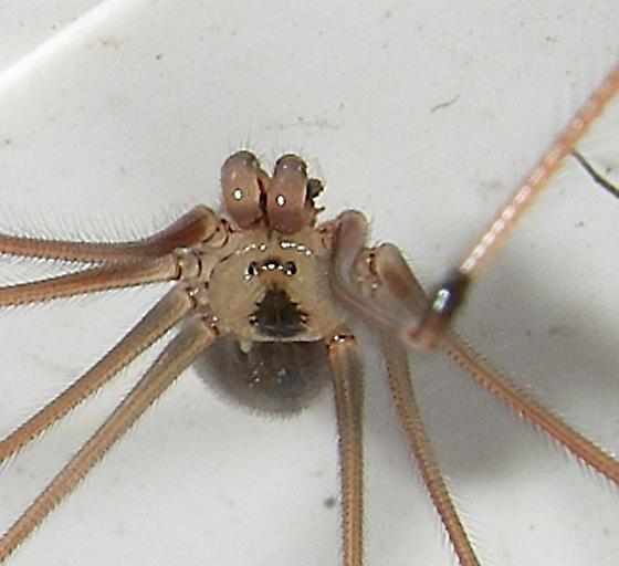 Cellar Spider ? 3 of 4