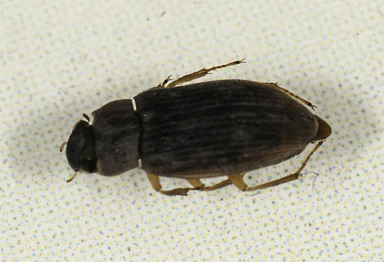 Hydrophilidae - Helophorus