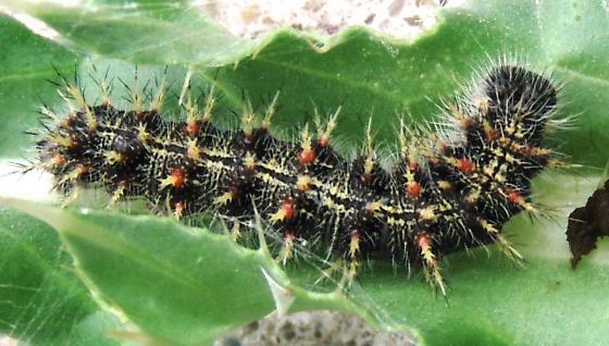Painted Lady caterpillar - Vanessa cardui