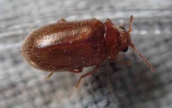 Washington Beetle - Unnamed-near-cyphon brevicollis