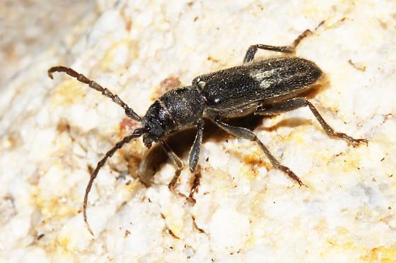 Cerambycid - Anelaphus albofasciatus