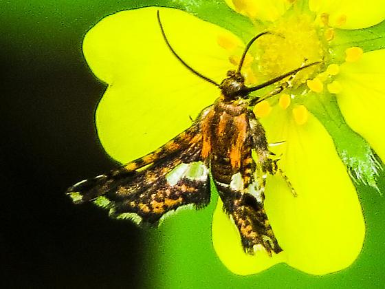Thyris maculata - Spotted Thyris ?? - Thyris maculata