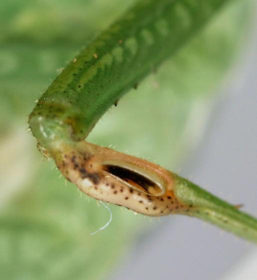Lesser Angle-winged Katydid - Microcentrum retinerve - male