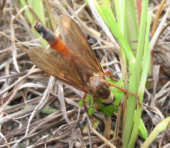 Asilid - Scleropogon subulatus - female