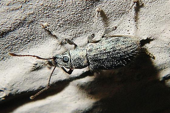 Cyrtepistomus castaneus from Arkansas - for confirmation or correction. - Cyrtepistomus castaneus