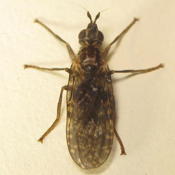 Unid. Marsh Fly (?)  - Sphecomyiella nelsoni