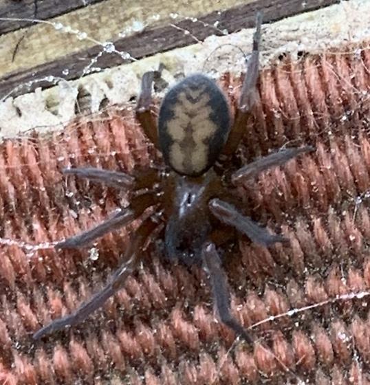Callobius spp. - Callobius bennetti