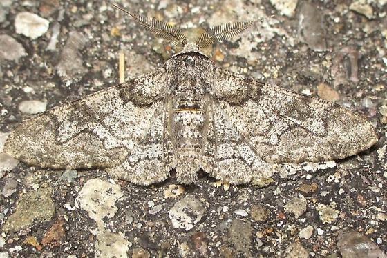 Geometrid on rock - Biston betularia - male