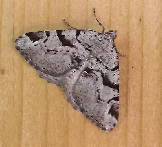 Moth? ID - Macaria bitactata
